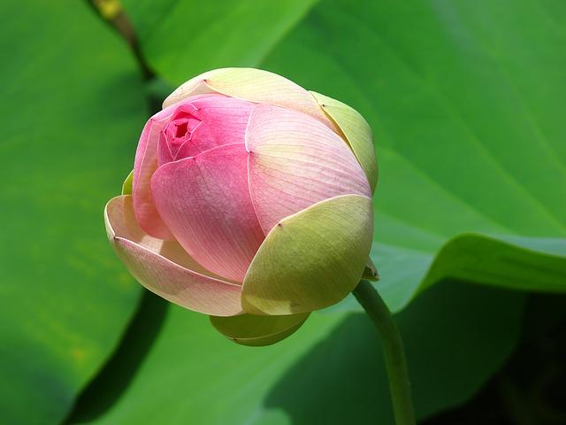 flower_bud.jpg