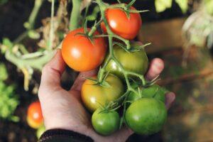 tomatoes_on_vine.jpg